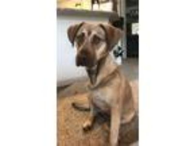 Adopt Maybelline a Tan/Yellow/Fawn Labrador Retriever / Mixed dog in Spring