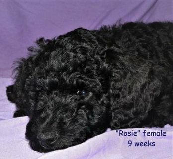 Goldendoodle PUPPY FOR SALE ADN-117545 - Beautiful Black F1B B Goldendoodle Female