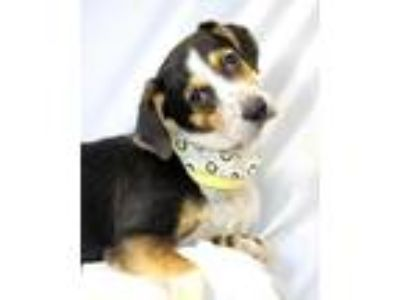 Adopt Gwen a Hound (Unknown Type) / Jack Russell Terrier / Mixed dog in Hot