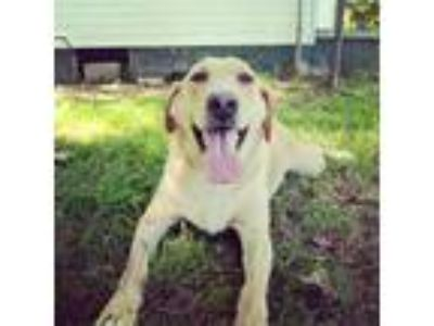 Adopt Sandy a White - with Tan, Yellow or Fawn Labrador Retriever / Mixed dog in