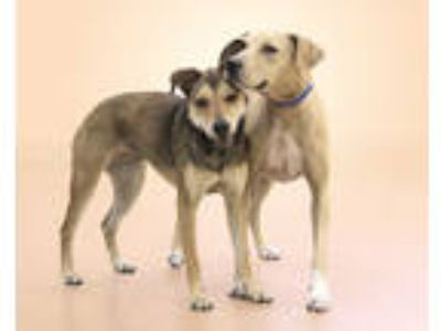 Adopt SAMANTHA a Tan/Yellow/Fawn Hound (Unknown Type) / Great Dane / Mixed dog