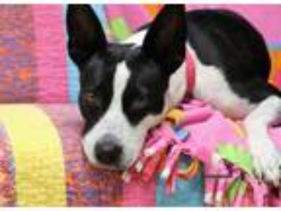 Adopt LONDON a Rat Terrier, Basenji