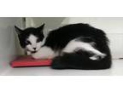 Adopt Valory a Domestic Shorthair / Mixed cat in Fresno, CA (24366382)