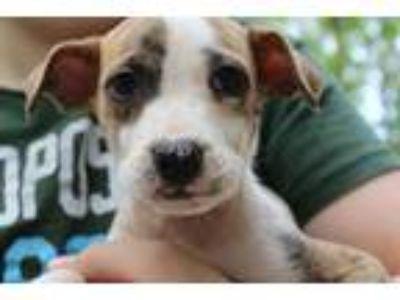 Adopt Sweetart a Brindle - with White Boxer / Hound (Unknown Type) / Mixed dog
