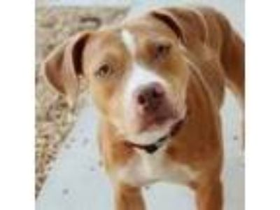 Adopt Corina a Brown/Chocolate Mixed Breed (Medium) dog in Jacksonville