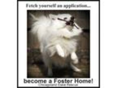 Adopt Foster Parents a American Eskimo Dog