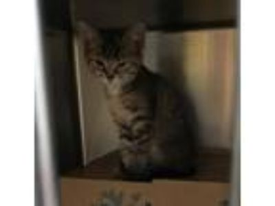 Adopt Goose a Brown or Chocolate Domestic Mediumhair cat in Knoxville
