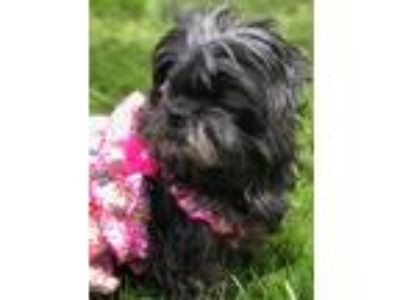 Adopt Snaps a Black Shih Tzu / Mixed dog in Portland, OR (25849936)