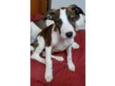 Adopt Zoey a American Staffordshire Terrier, Catahoula Leopard Dog