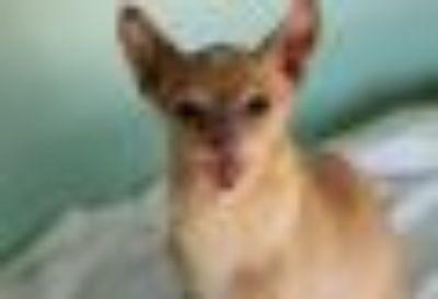 Willy Wonka Chihuahua Dog