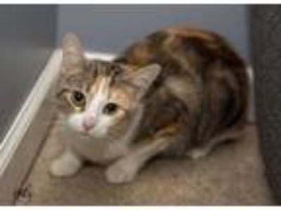 Adopt Momma Hera a American Shorthair, Domestic Short Hair