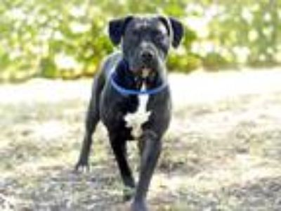 Adopt HEIDI a Black - with White Labrador Retriever / Mixed dog in Tavares
