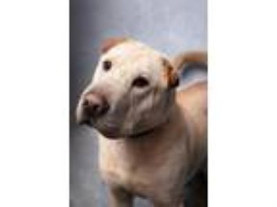Adopt Gaston a Shar-Pei, Labrador Retriever