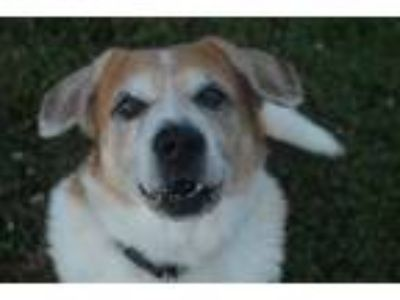 Adopt HARLEY a White - with Brown or Chocolate Labrador Retriever / Mixed dog in