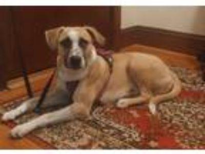 Adopt Pecoso a Tan/Yellow/Fawn - with White Labrador Retriever dog in Walnut