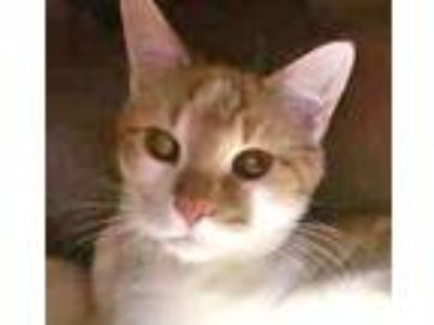 Adopt Mr. Q a Orange or Red Tabby Domestic Shorthair (short coat) cat in