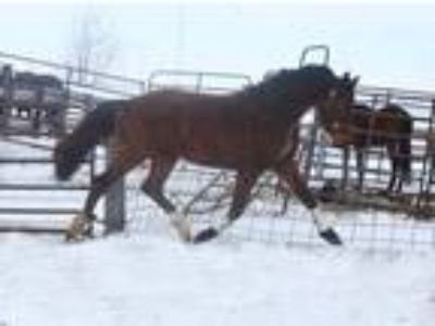 DRFs Southern Theory Warmblood Prospect For Sale
