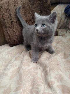 --(RUSSIAN BLUE)--(HYPOALLERGENIC)--(MALE KITTEN)--