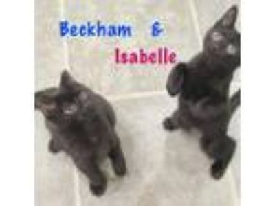 Adopt Isabelle a Domestic Short Hair