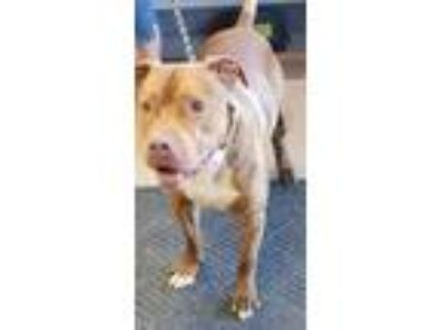 Adopt JACE a Brown/Chocolate - with White Pit Bull Terrier / Mixed dog in