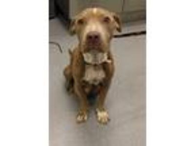 Adopt Diva a Pit Bull Terrier, Mixed Breed