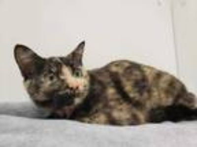Adopt Shania a All Black Domestic Shorthair / Mixed cat in Boulder