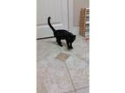 Adopt Sweetie a Black (Mostly) American Shorthair cat in Rogers, AR (25088327)