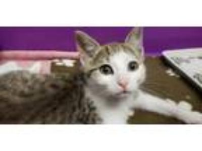 Adopt Miss Howell a Domestic Shorthair / Mixed (short coat) cat in Lancaster