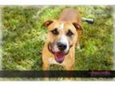 Adopt Max a Labrador Retriever, Boxer