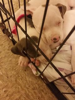 $100, pitbull puppies 100