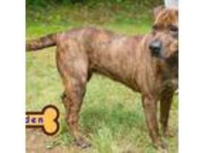 Adopt JADEN a Tan/Yellow/Fawn Shar Pei / Mixed dog in Franklin, NC (19981965)