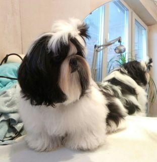 Champion bloodline Shih tzu puppies