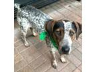 Adopt 42010003 a Black German Shorthaired Pointer / Mixed dog in Mesquite