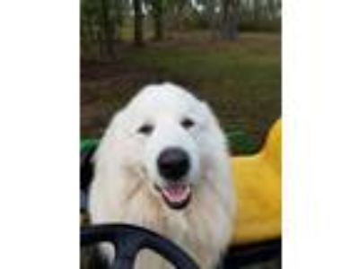 Adopt Bo a White Great Pyrenees dog in Metter, GA (25297983)