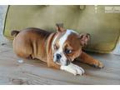 AKC English Bulldog Girl