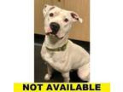 Adopt Dash a Pit Bull Terrier, Mixed Breed
