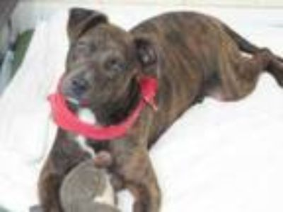 Adopt Jeremy a Brindle Labrador Retriever / American Pit Bull Terrier / Mixed