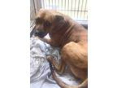 Adopt ZUES a Brown/Chocolate American Pit Bull Terrier / Mixed dog in St.