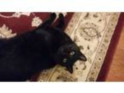 Adopt Sam a All Black American Shorthair cat in Gaithersburg, MD (25586111)