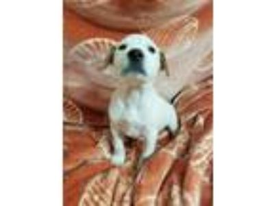 Adopt Spot a White - with Tan, Yellow or Fawn Catahoula Leopard Dog / Mixed dog
