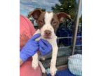 Adopt Lucy a Pit Bull Terrier, Hound
