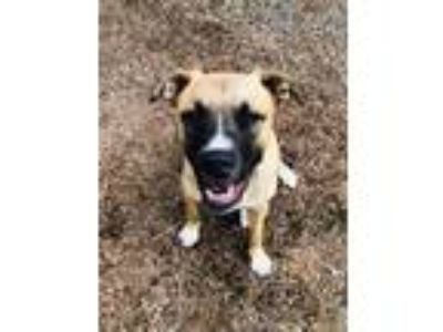Adopt Bella & Duke a Labrador Retriever, Boxer