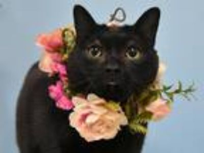 Adopt April a Domestic Shorthair / Mixed cat in Portland, OR (25398921)