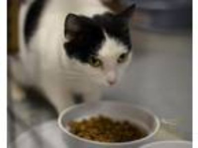 Adopt Mika a Black & White or Tuxedo American Shorthair / Mixed cat in Holland