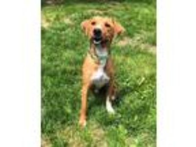 Adopt Jarrett a Brown/Chocolate - with White Labrador Retriever / Mixed dog in