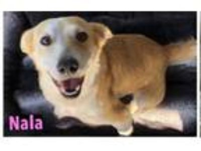 Adopt Nala a Basset Hound, Golden Retriever