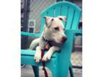 Adopt Ghost a Pit Bull Terrier / Mixed dog in Madison, NJ (25505922)