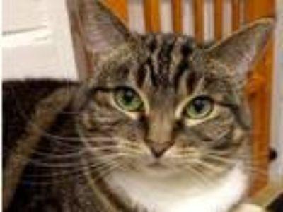 Adopt Audrey (Big and Beautiful) a Tabby, Domestic Short Hair