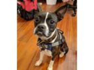 Adopt Papi a Boston Terrier