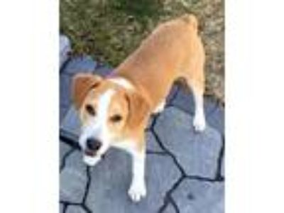 Adopt Hooper nka Cooper TX a Brown/Chocolate - with White Beagle / Labrador
